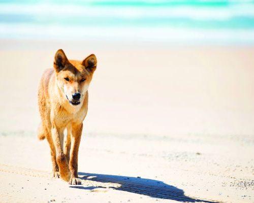 131551 - Dingo